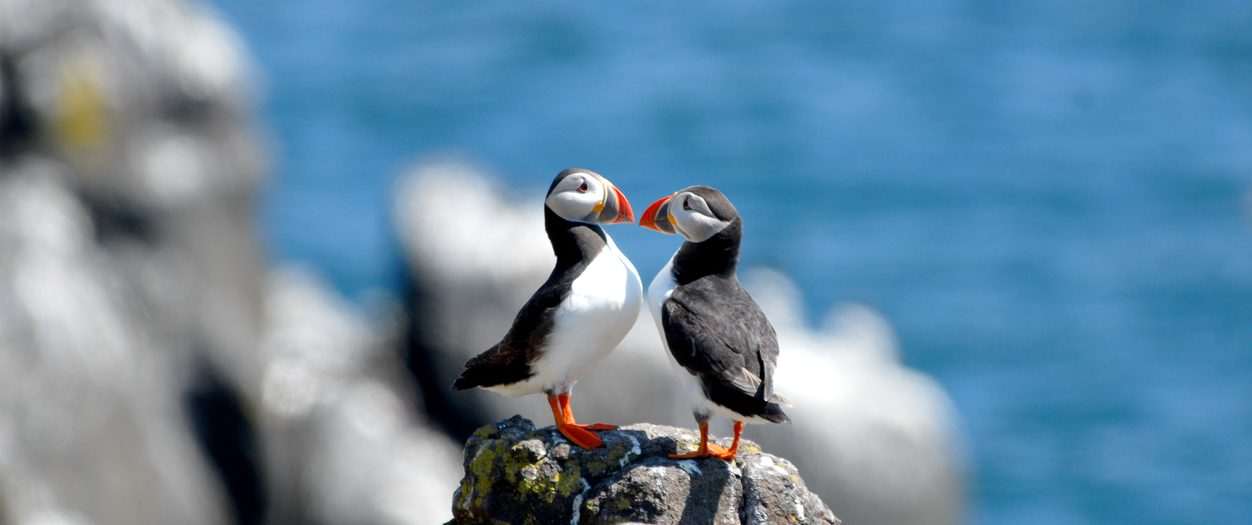 Puffins at Lundy Island