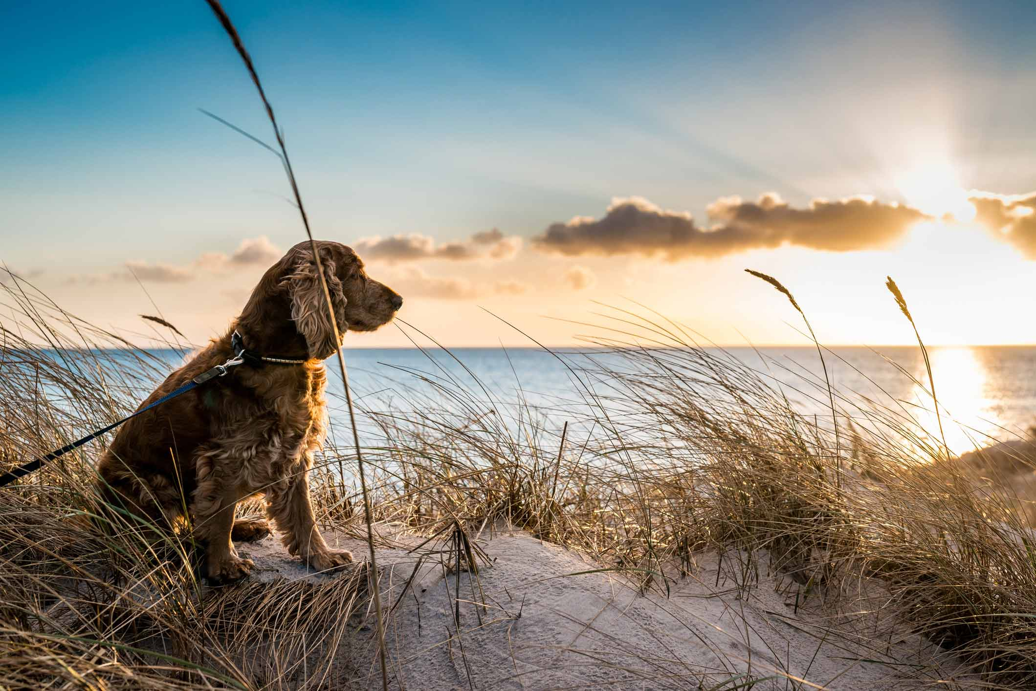 A dog being walked on Woolacombe beach in front of a sunset